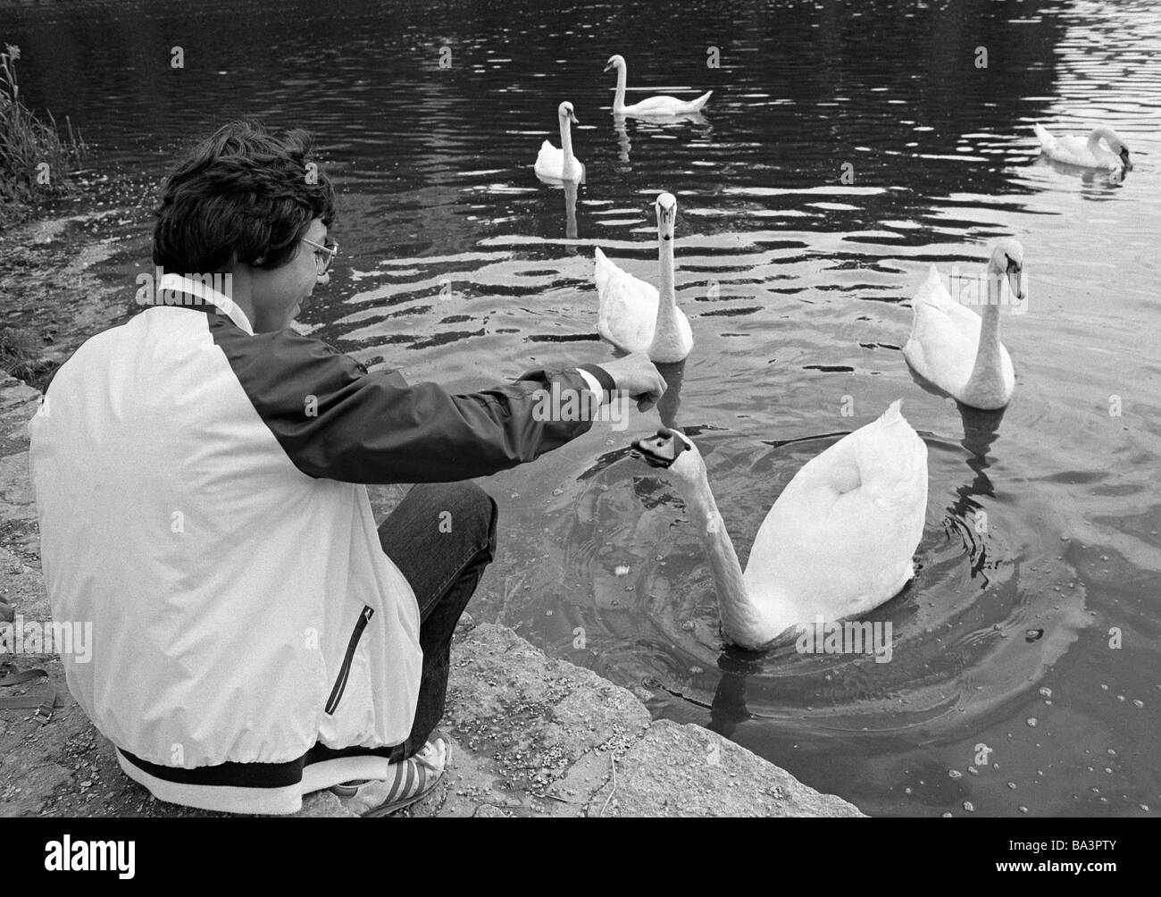 Eighties, black and white photo, human and animal, boy feeds swans on a lake, aged 14 to 17 years, Mute swan, Cygnus - Stock Image