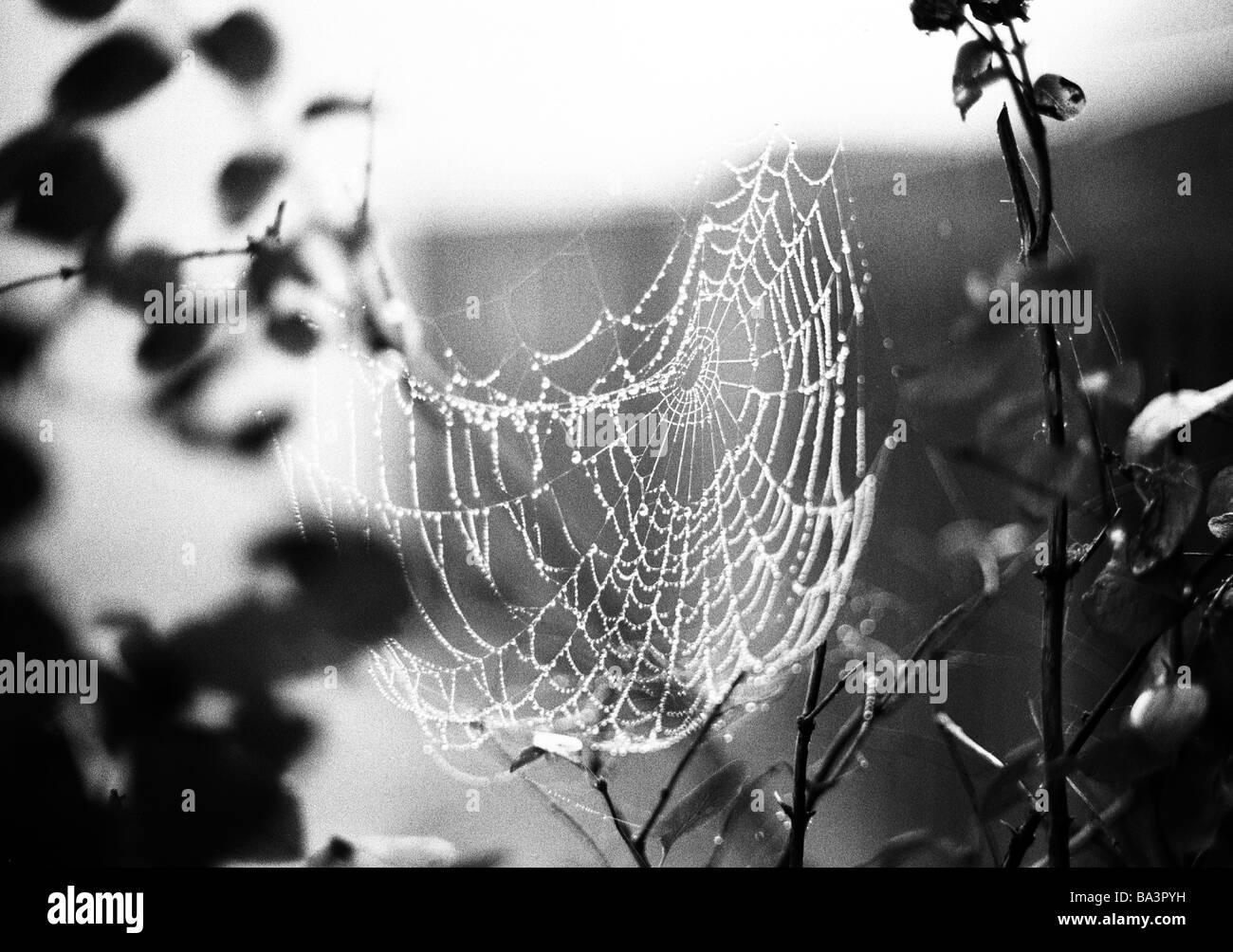 black and white photo, nature, animal world, spiderweb - Stock Image