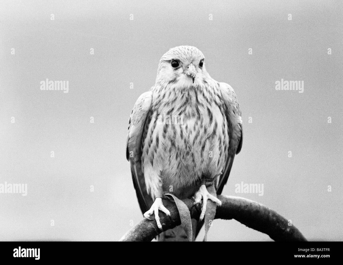 Natur, Tierwelt, Falke, Falco - Stock Image