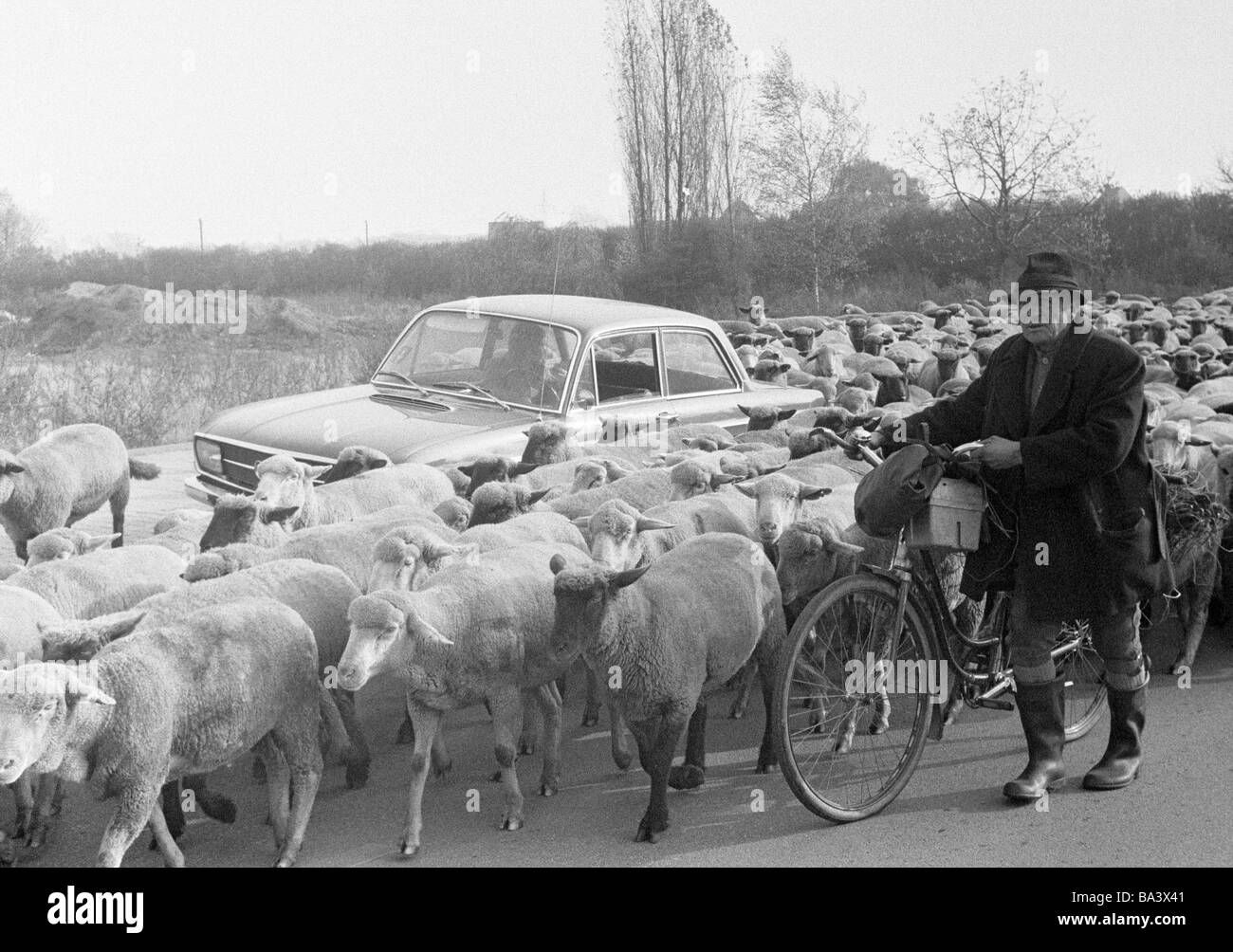 Seventies, black and white photo, human and animal, shepherd and flock of sheep, aged 60 to 80 years, passenger - Stock Image
