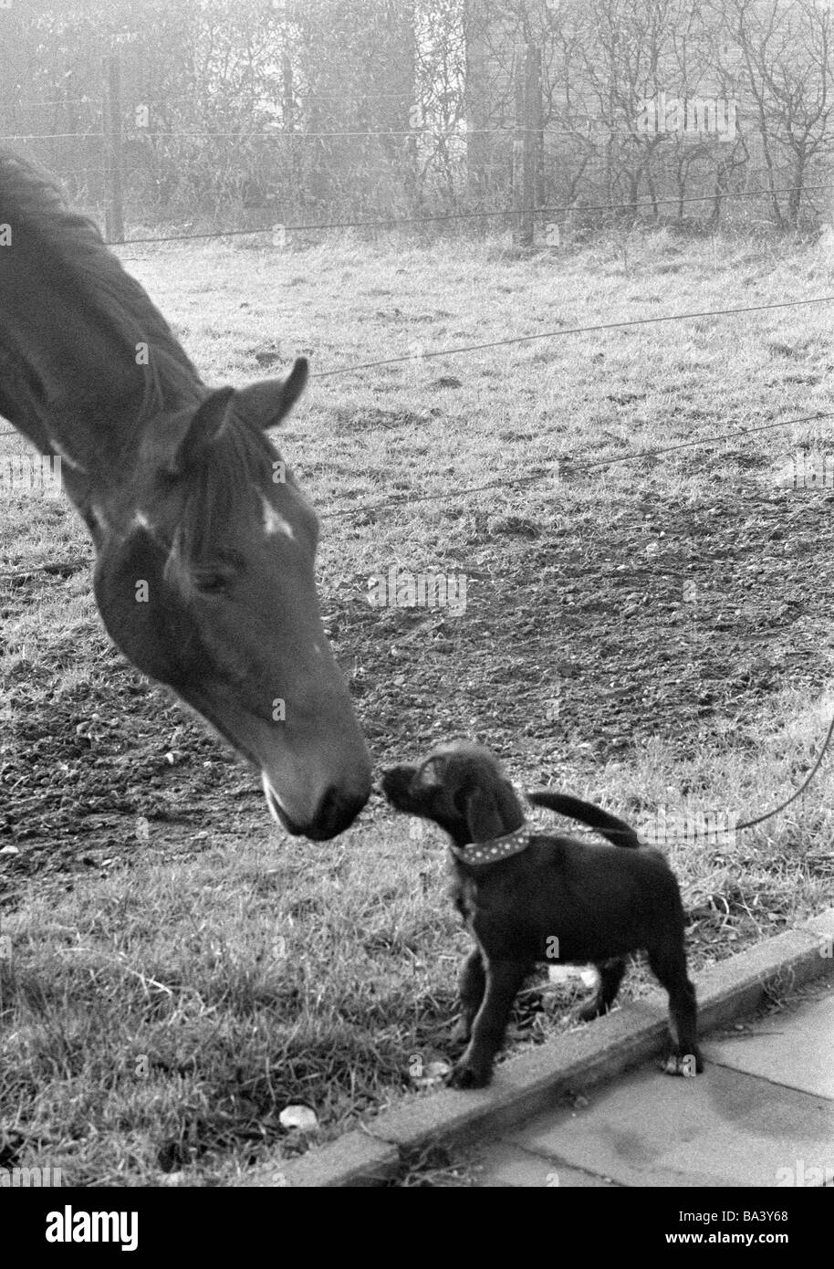 Seventies, black and white photo, humour, animals, horse and leashed dog view each other through a pasture fence - Stock Image