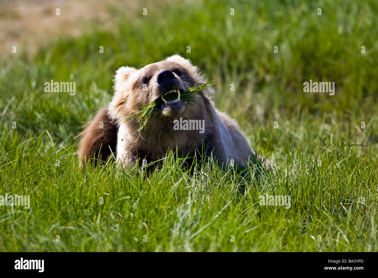 Brown bear eating sedge grass in the Kaguyak area of Katmai National Park, Alaska - Stock Image