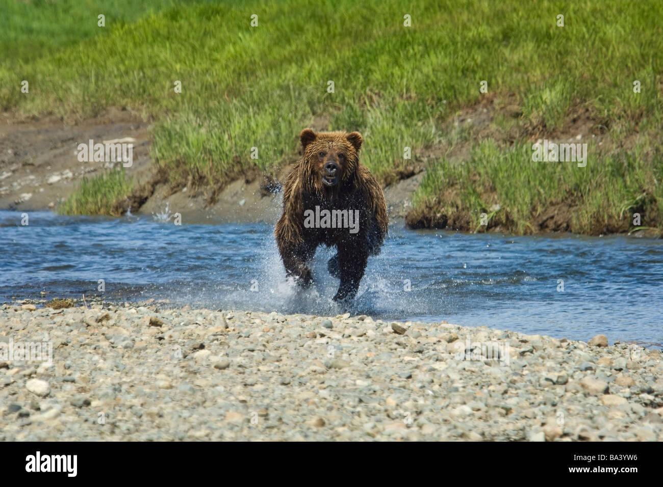 A Brown Bear Charges through the water at Mikfik Creek during Summer in Southwest Alaska. Stock Photo