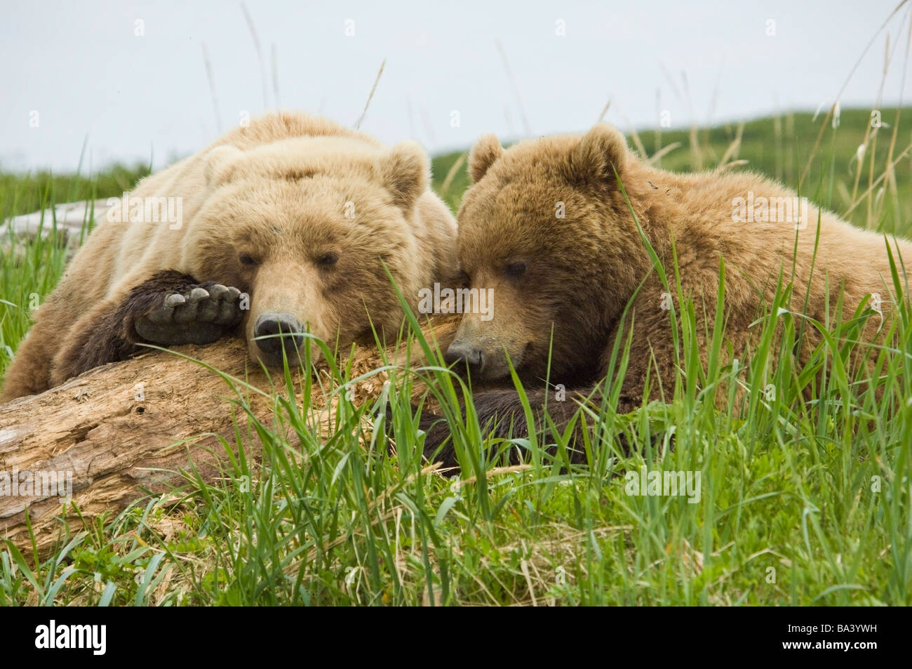 Brown Bear sow and her cub take a nap on some driftwood at McNeil River during Summer in Southwest Alaska. - Stock Image