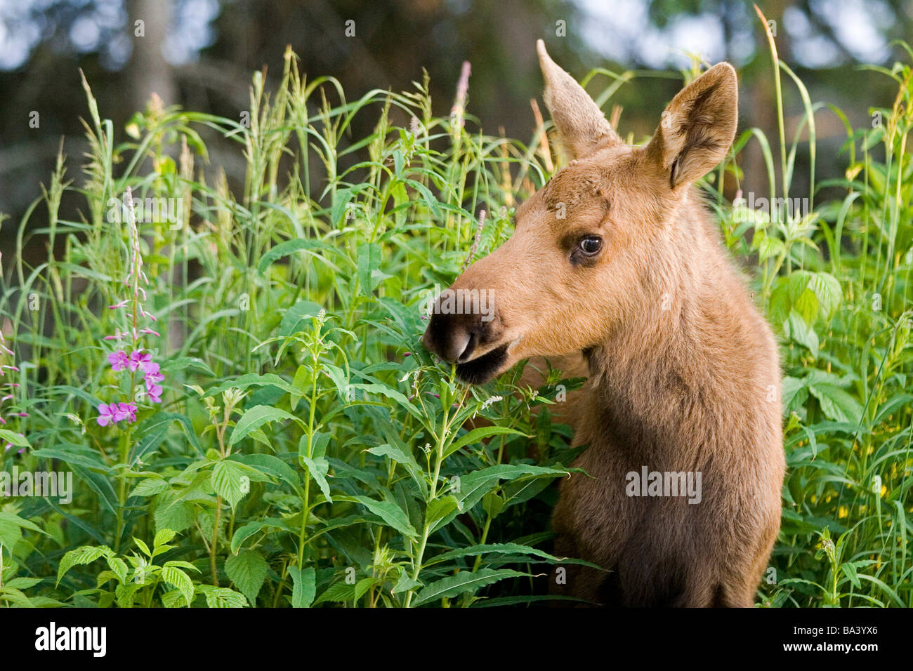 Young moose calf standing in Fireweed in Anchorage back yard Alaska Summer - Stock Image