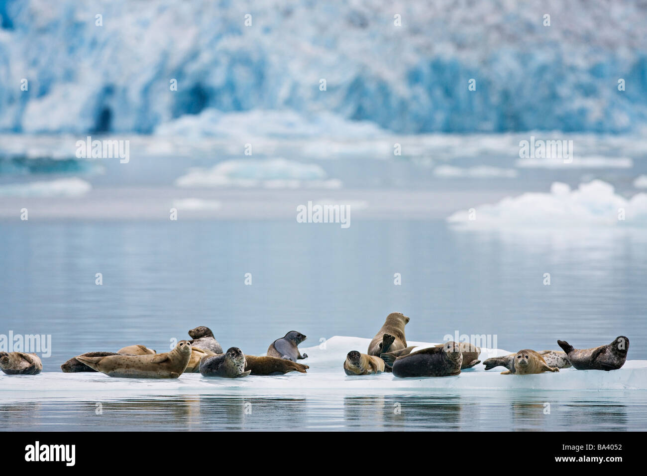 Harbor seals rest on an iceberg with Dawes Glacier in the background, Tracy Arm in Fords Terror Wilderness, Alaska Stock Photo
