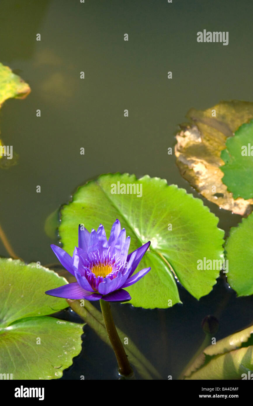 Water lilies in Ho Chi Minh City Vietnam - Stock Image