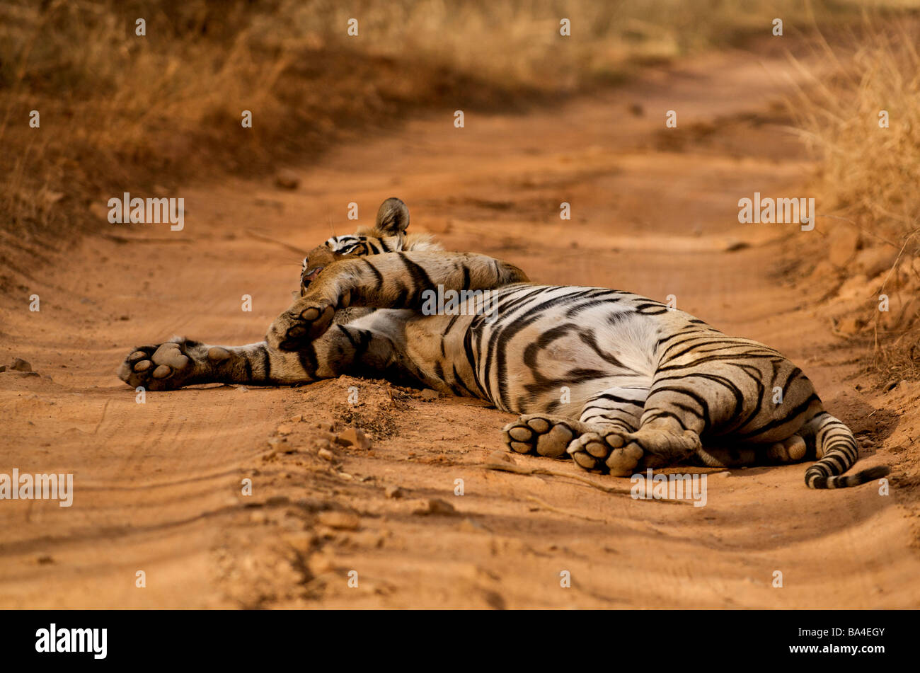 Male Bengal tiger sleeping on a forest track in Ranthambhore national park - Stock Image
