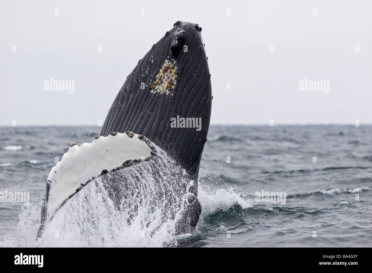 North Atlantic humpback whale breaching - Stock Image
