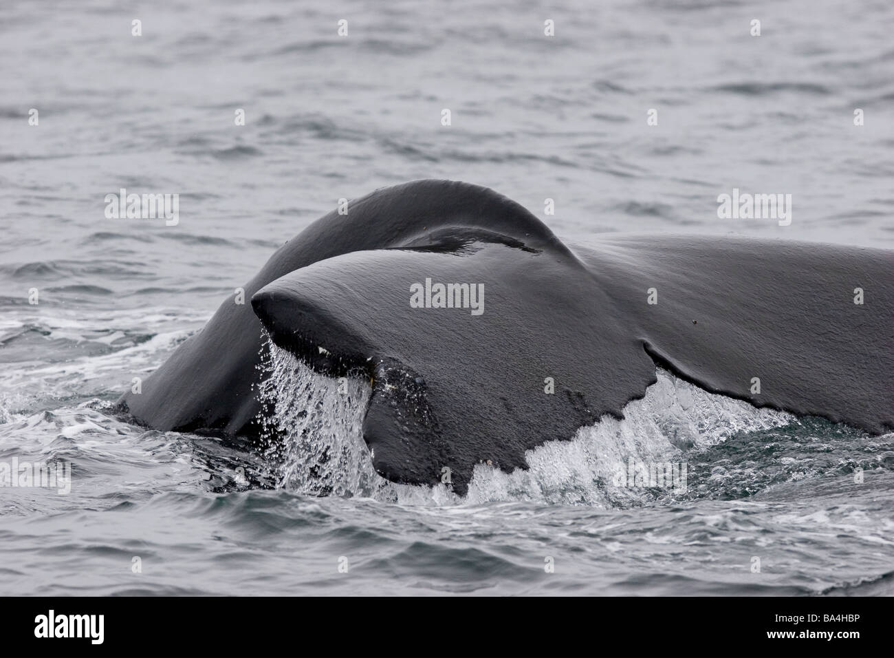 Humpback whale tail, fluking, injured tail, missing tip of fluke in North Atlantic - Stock Image