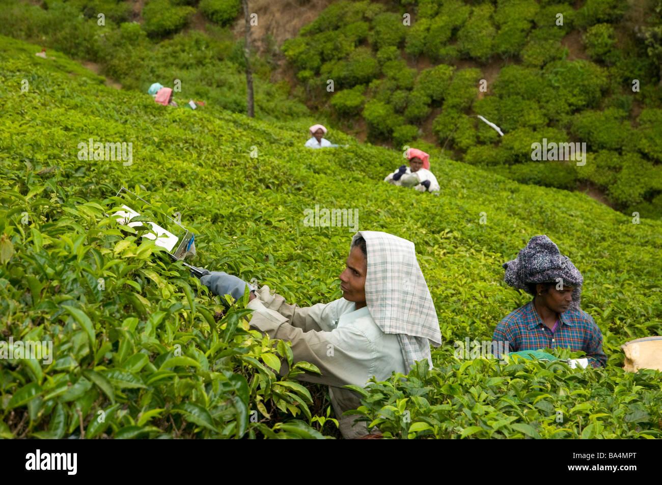 Tea pickers on plantation in foothills near Vandiperiyar, Idukki  district, Kerala, India - Stock Image