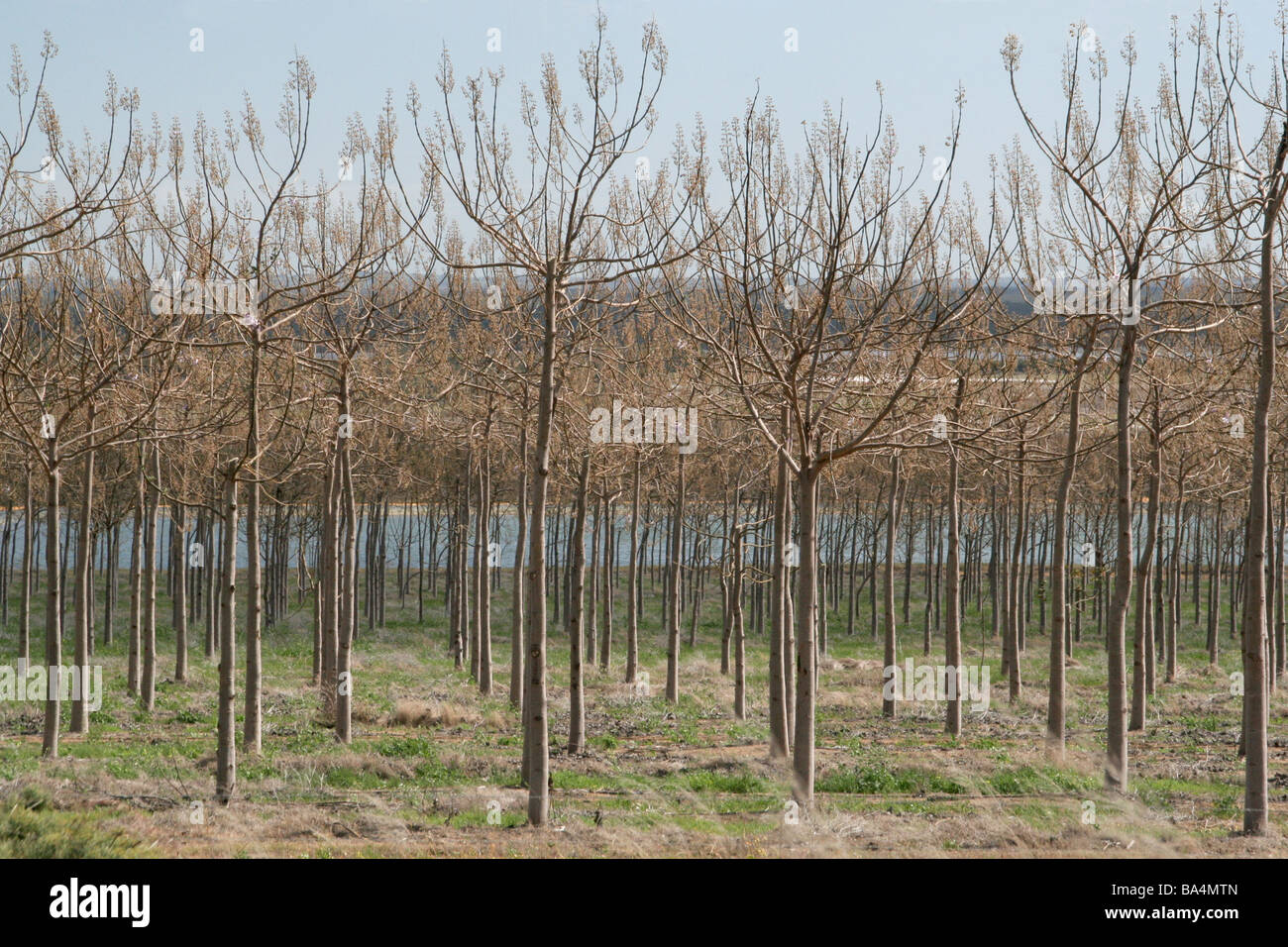 Rows of cultivated trees in Western Australia - Stock Image
