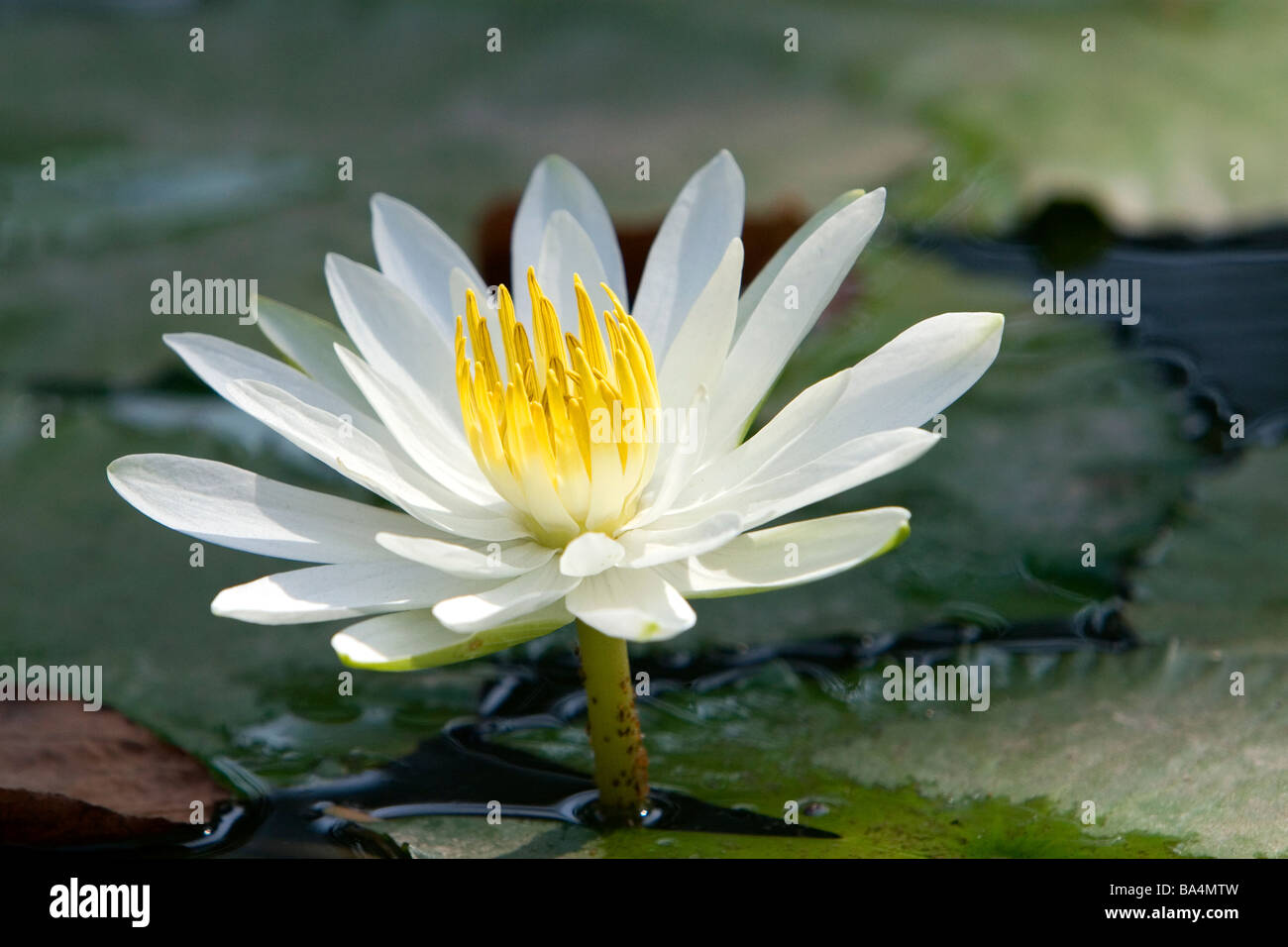 Water Lily Flowers Stock Photos Water Lily Flowers Stock Images