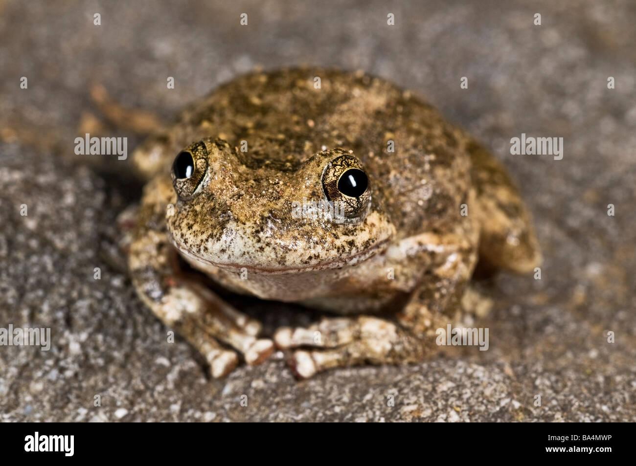California tree frog (Pseudacris cadaverina) Stock Photo
