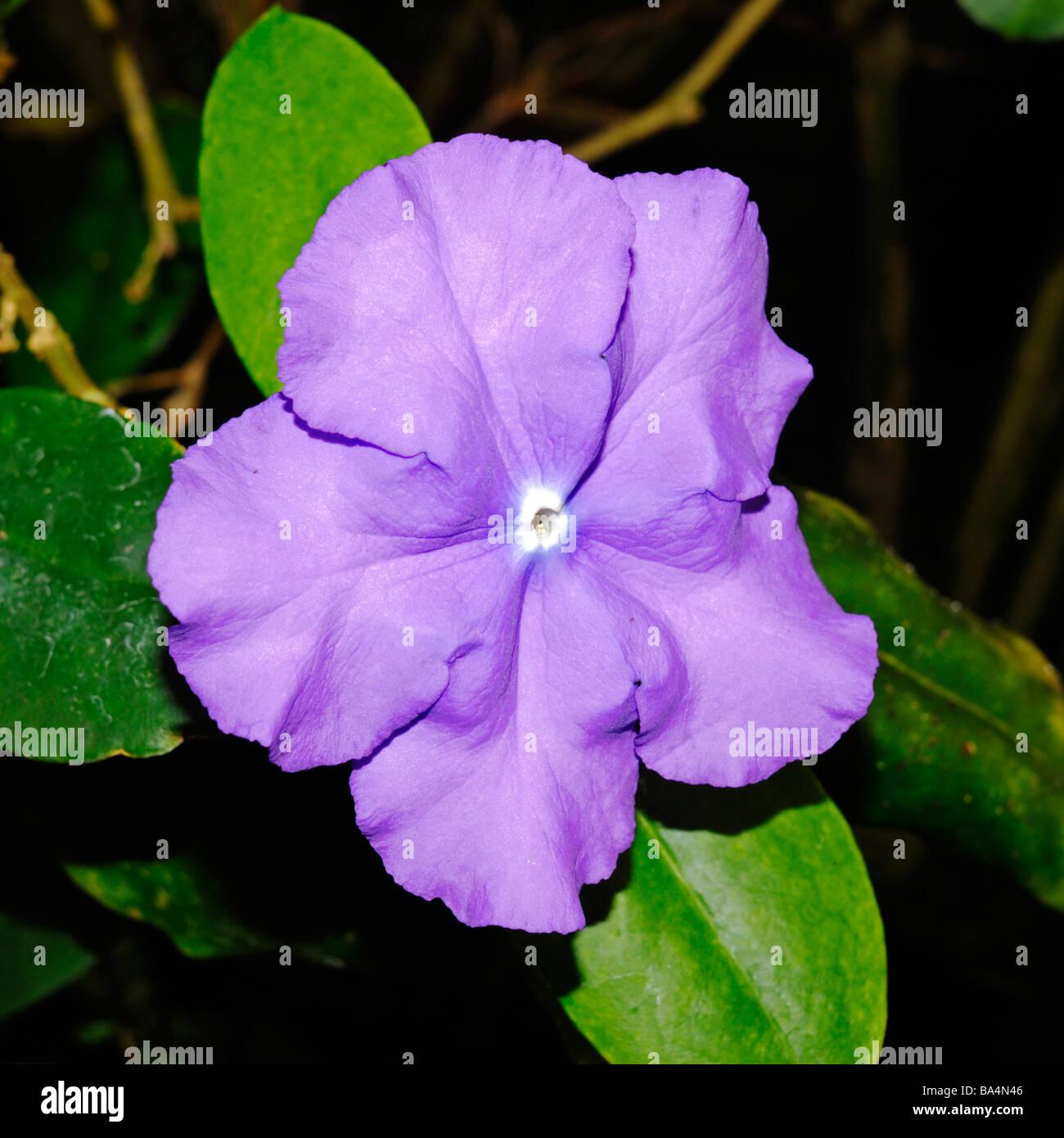 Brunfelsia pauciflora 'Macrantha' - Stock Image