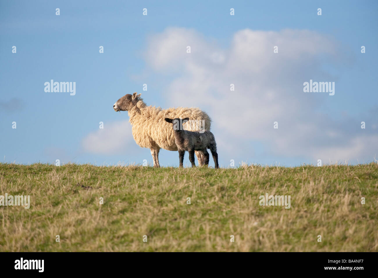 Ewe and lamb on the crest of a hill with a blue sky and cumulus clouds - Stock Image
