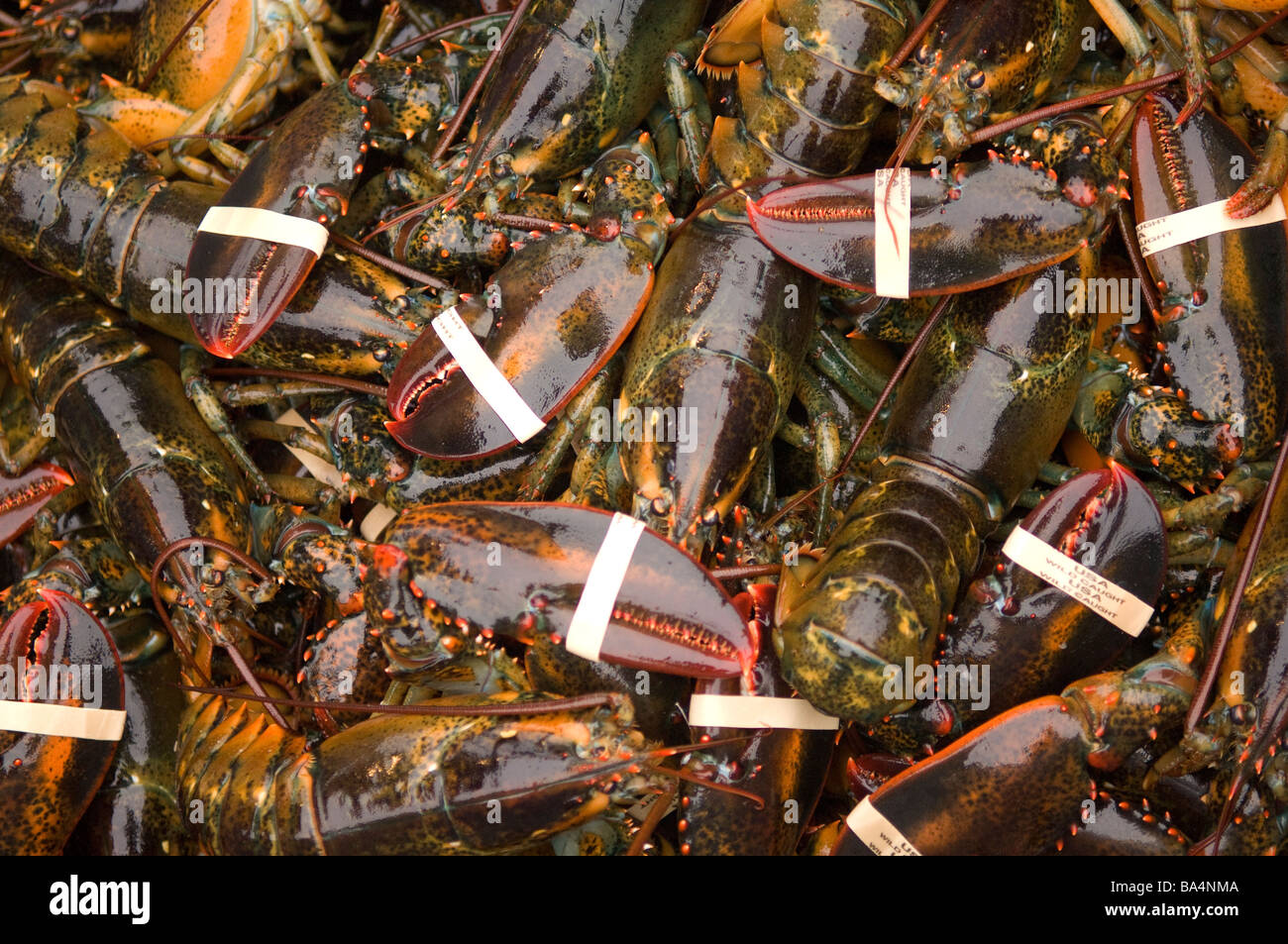 Live lobsters at market - Stock Image
