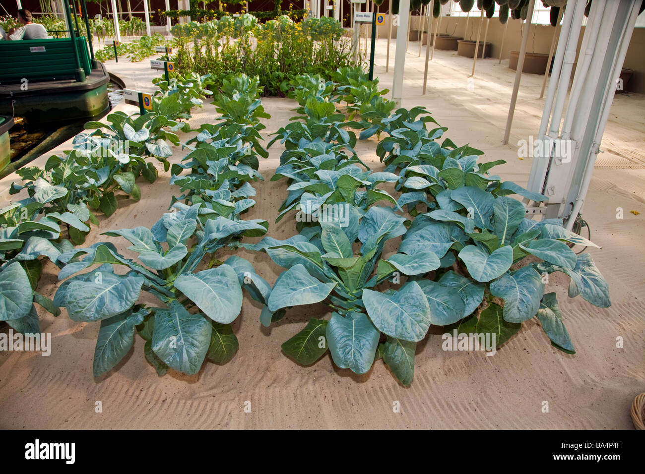 Vegetable growing in Sand in a Hydroponic Greenhouse in Florida,USA Stock Photo