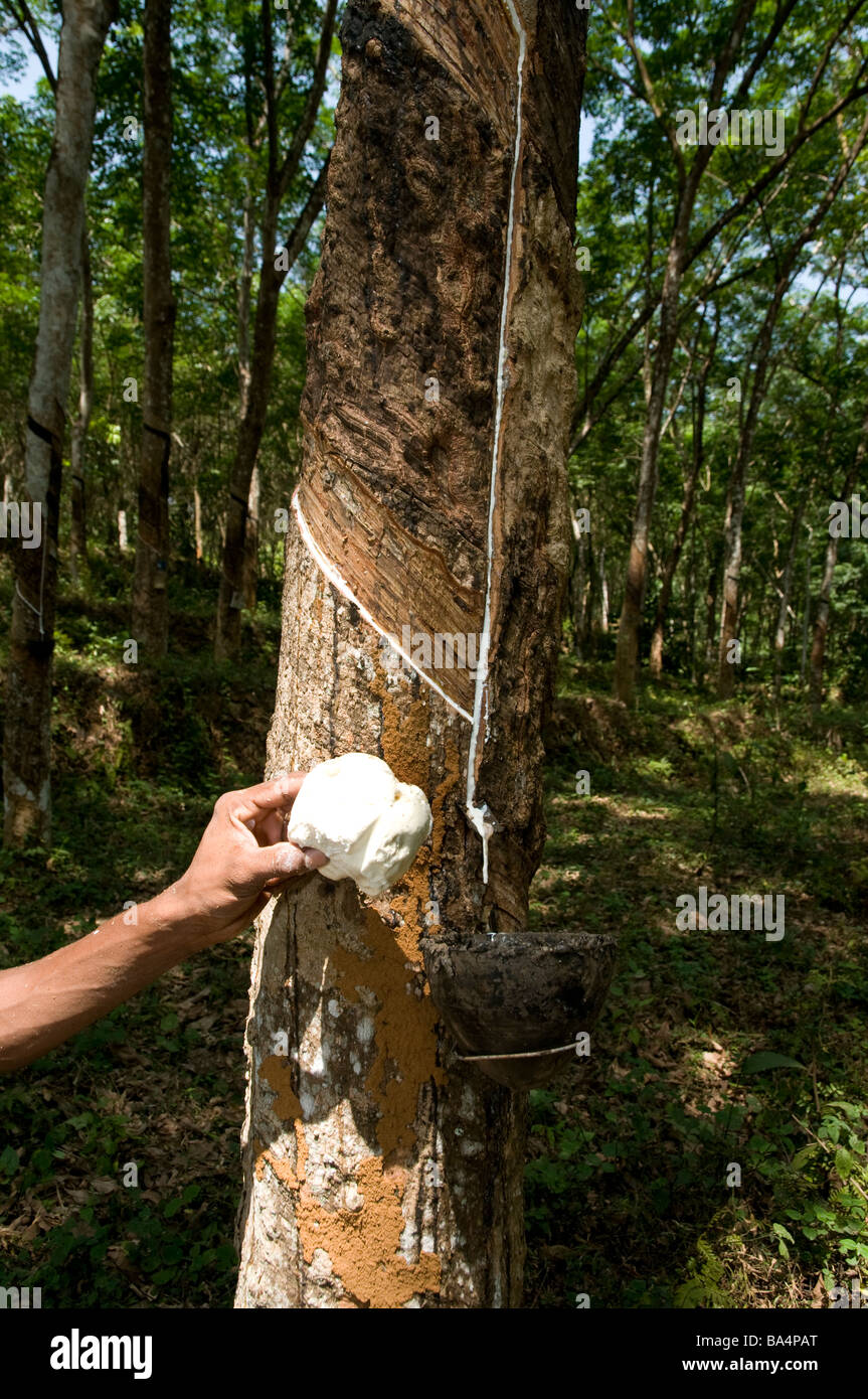 Showing collected natural rubber (latex )from the container of a rubber  tree in a rubber plantation , Kerala, Southern - Stock Image