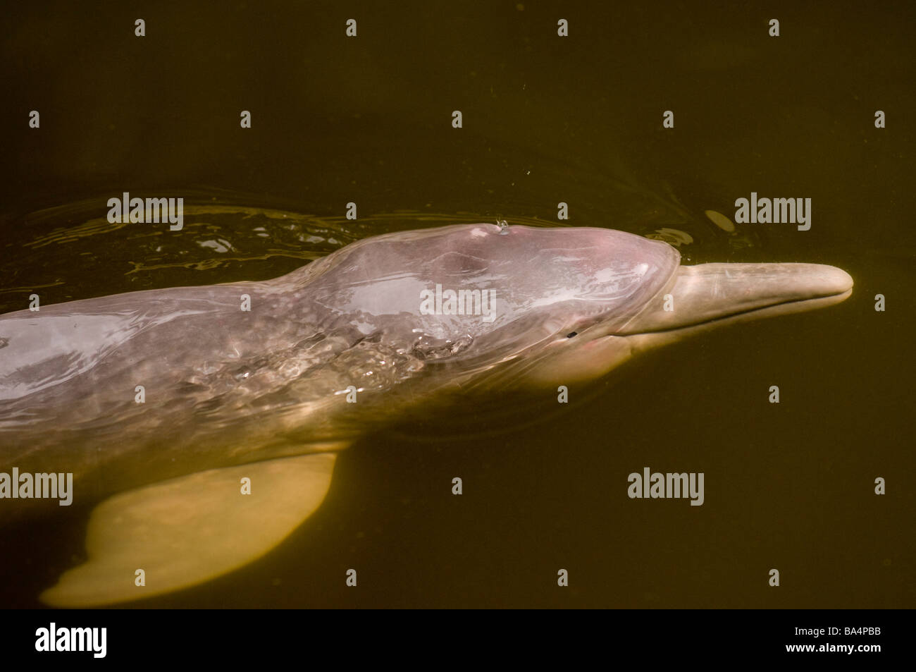 BOTO or PINK RIVER DOLPHIN Inia geoffrensis - Stock Image