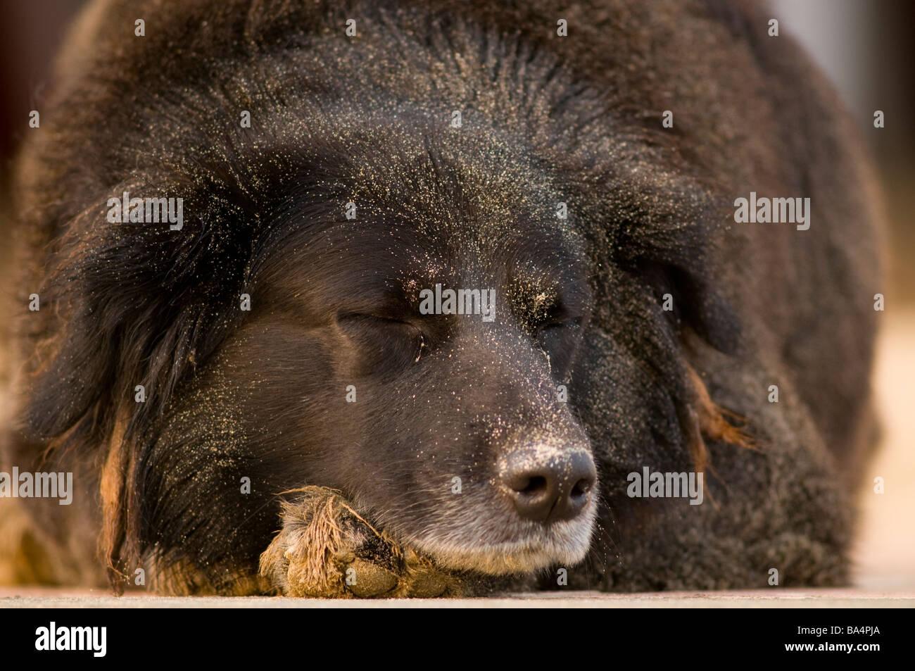 Black Mongrel dog resting on beach paracas national reserve Peru - Stock Image