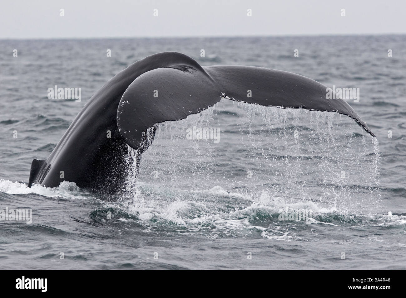 Humpback whale tail, fluking in North Atlantic - Stock Image