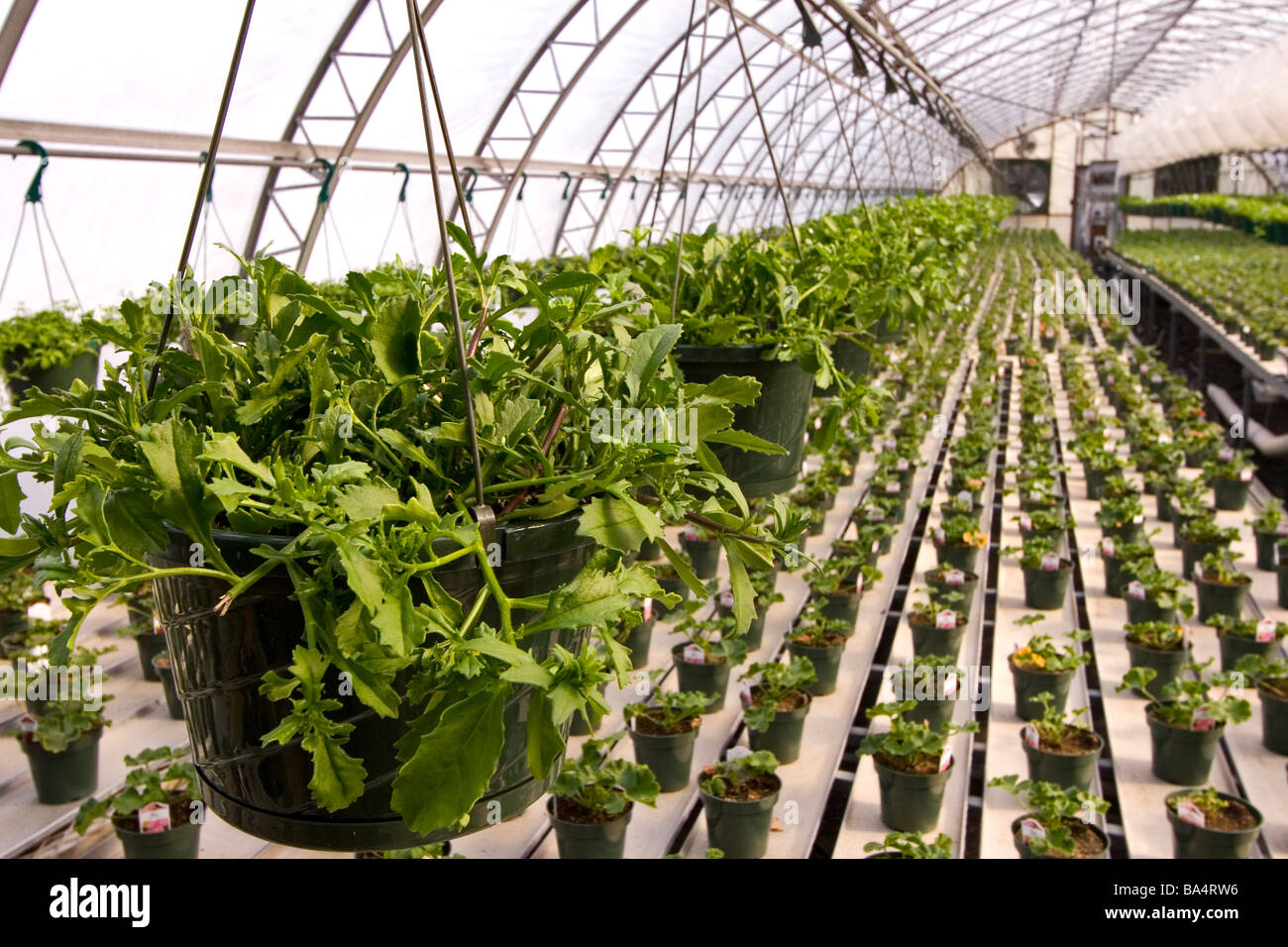 Greenhouse with rows of potted plants. - Stock Image