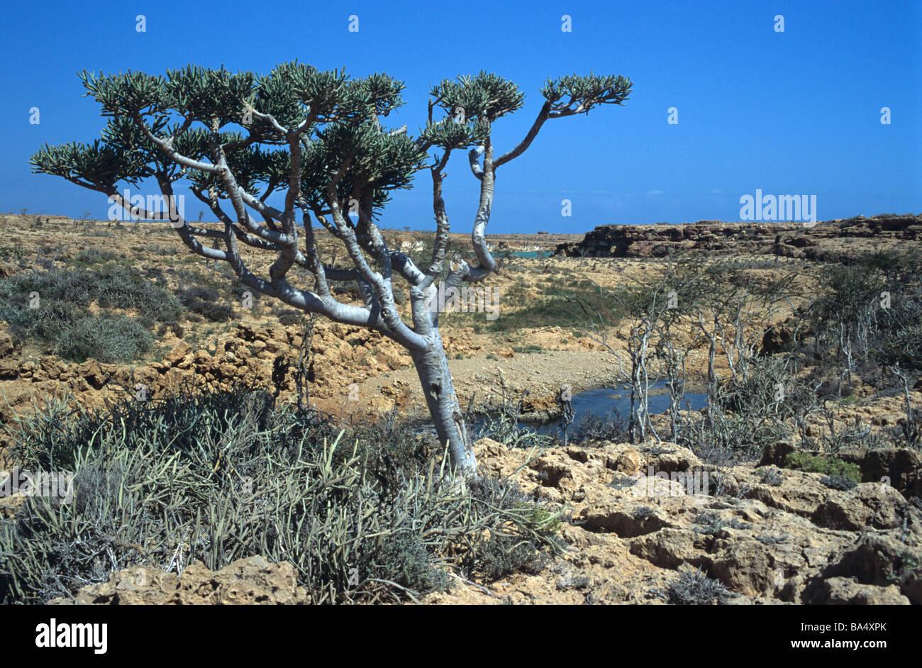 Euphorbia arbusculo & Coastal Inlet on north coast of Socotra or Suqutra, Yemen - Stock Image
