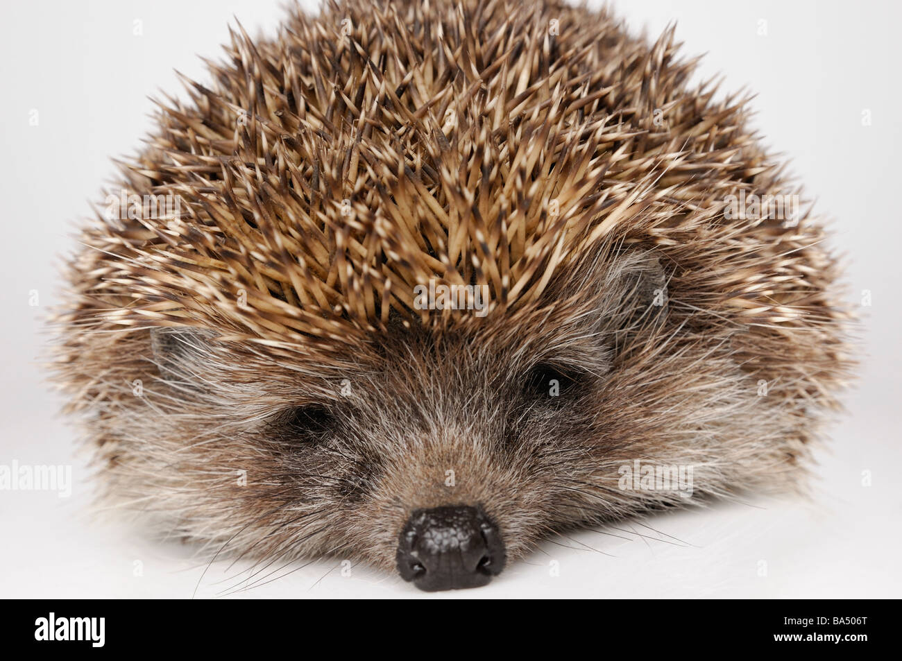 Hedgehog Sleeping Stock Photo