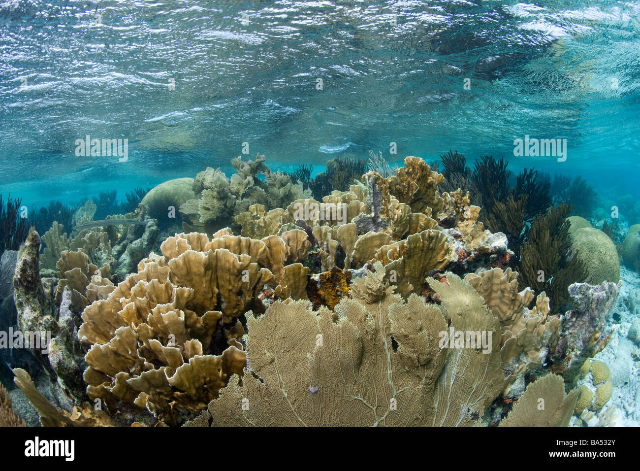 View of a reef top in the shallow waters near Klein Bonaire. - Stock Image