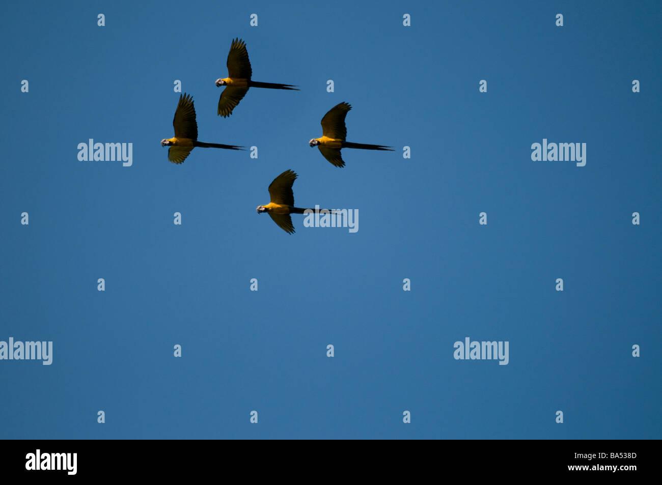 Blue and Yellow Macaws in flight Ara ararauna, Pacaya Samiria National reserve, Amazon Rainforest, Peru Stock Photo