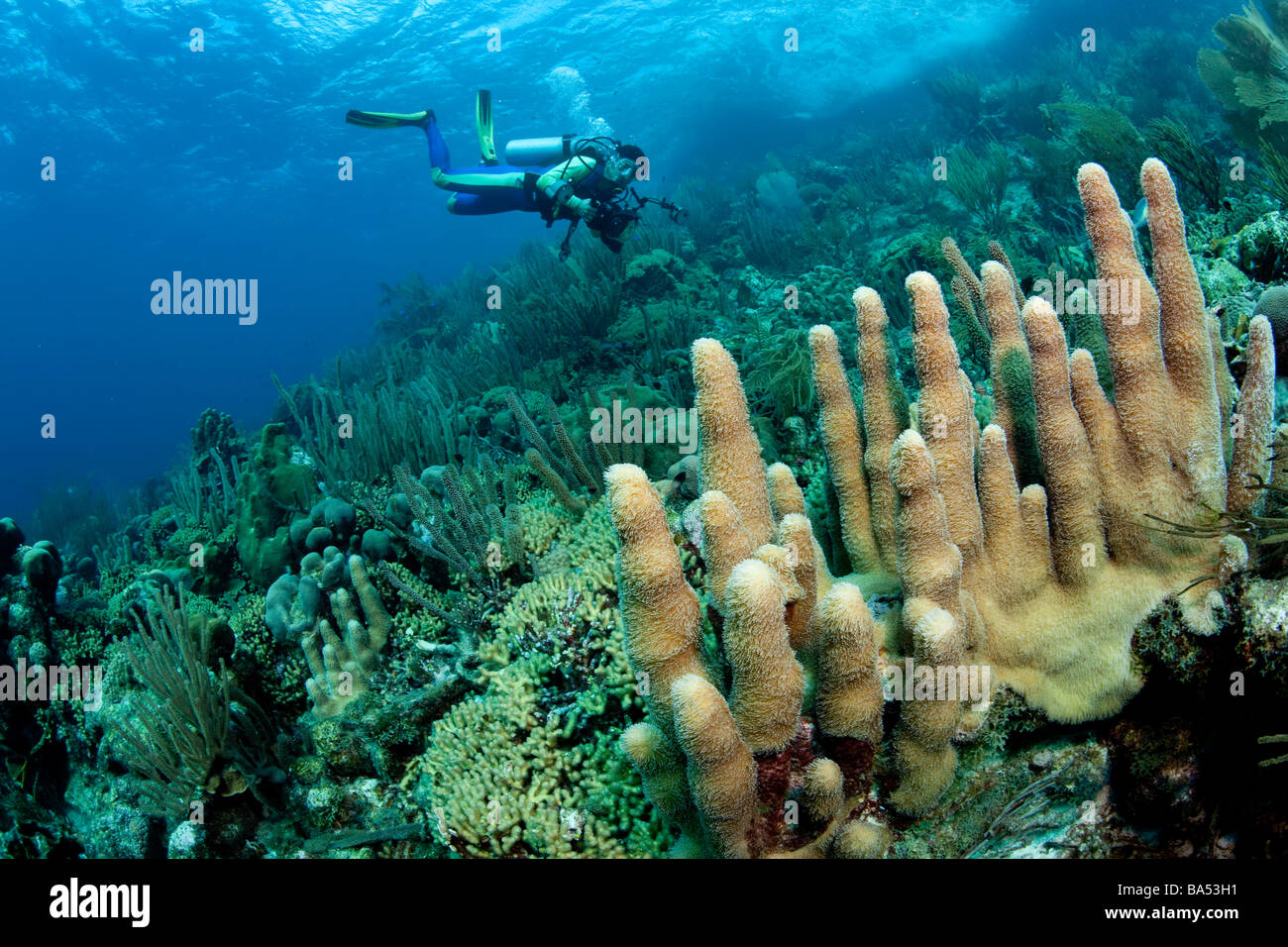 Healthy coral reef in Bonaire, featuring a stand of Pillar coral (Dendrogyra cylindrus) in the foreground. - Stock Image