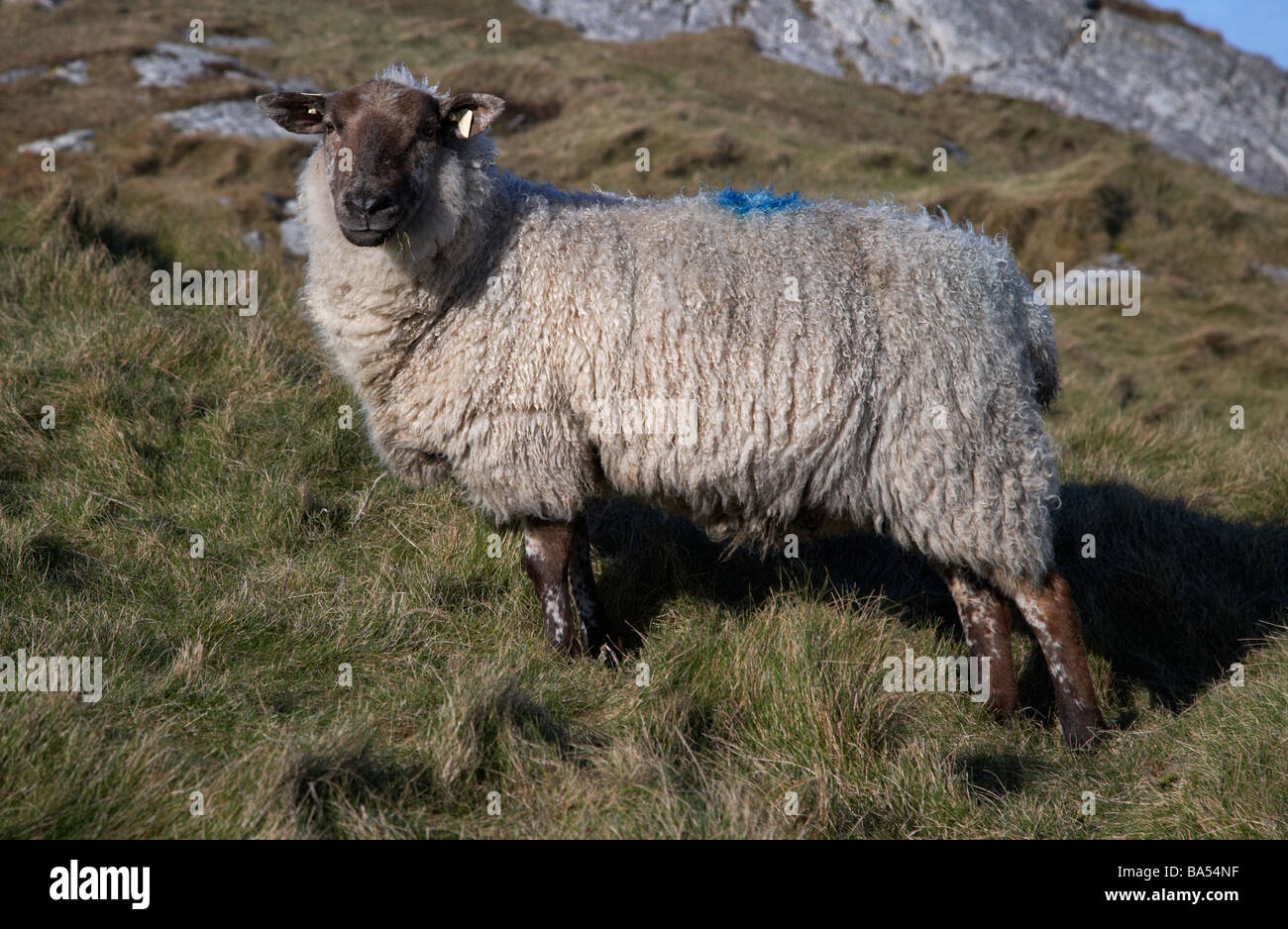 single black faced sheep looking to camera eye contact eating grass on rough ground inishowen peninsula county donegal - Stock Image