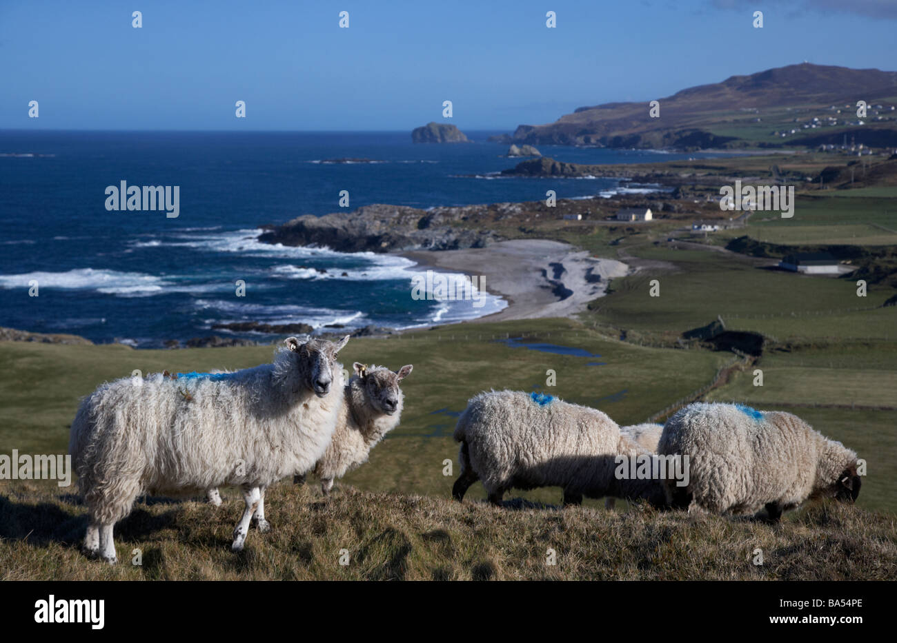 flock of sheep in a remote field beside the coast at malin head on the inishowen peninsula county donegal republic - Stock Image