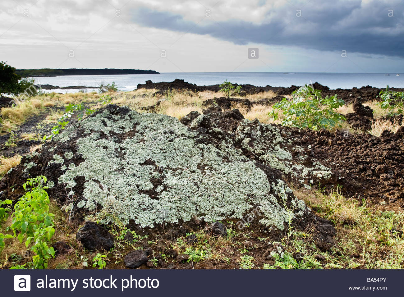 Plants and lichen establish foothold on lava field near La Perouse Bay on the island of Maui in the state of Hawaii - Stock Image