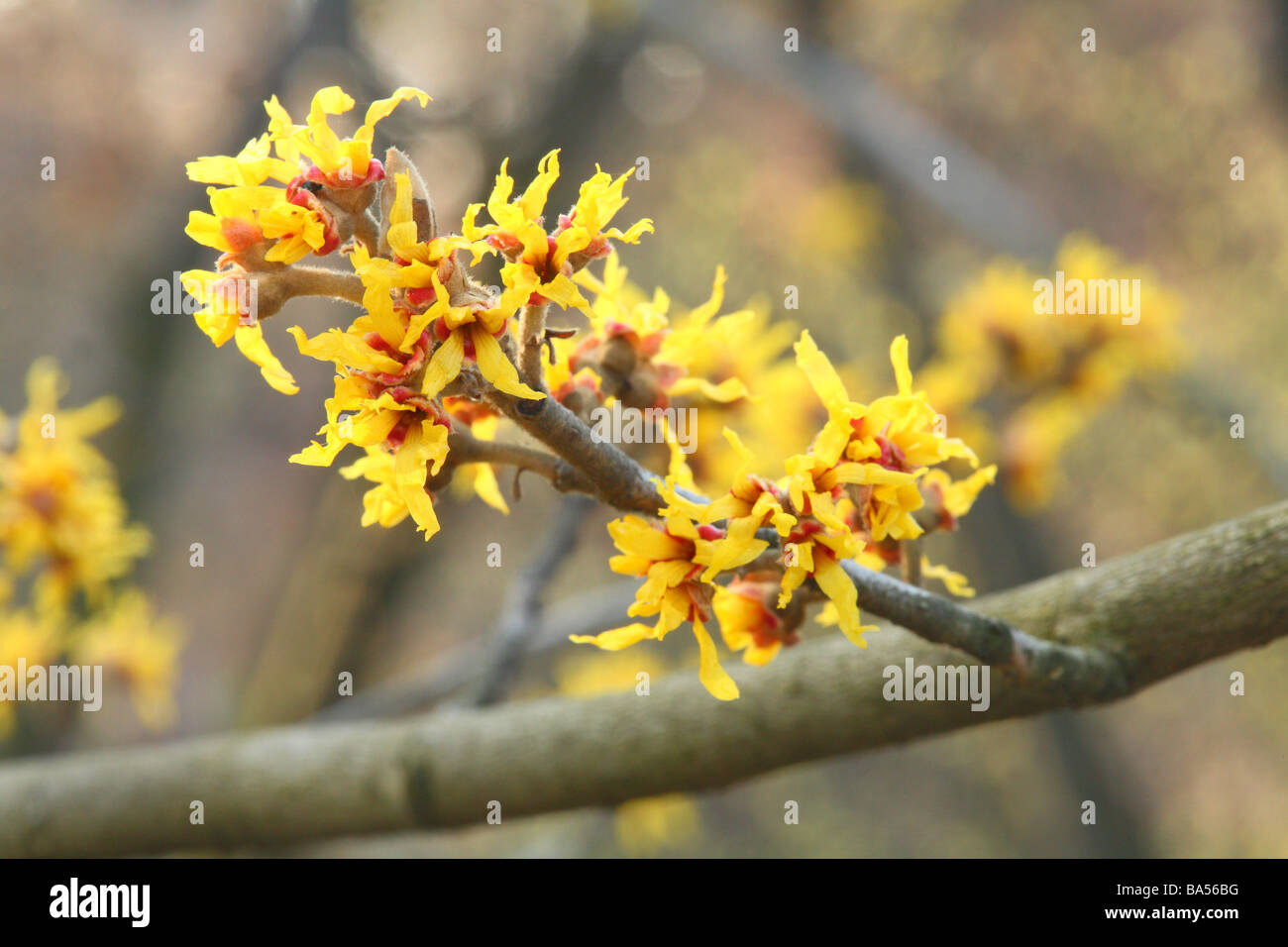 Witch hazel Hamamelis intermedia flowers close up - Stock Image