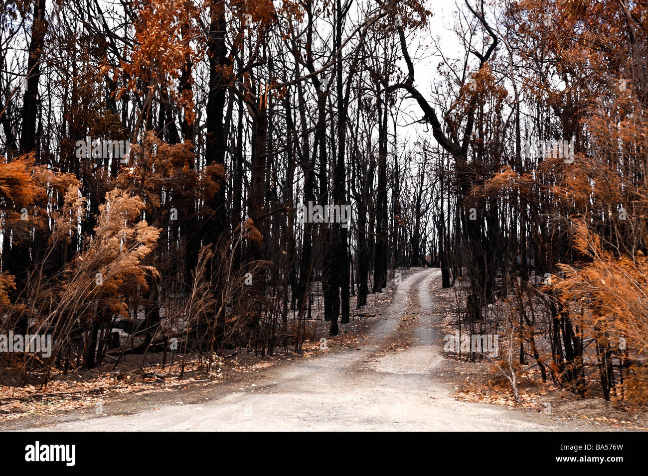 Country dirt road through a burnt eucalyptus forest after the black saturday bushfires Churchhill Victoria Australia - Stock Image