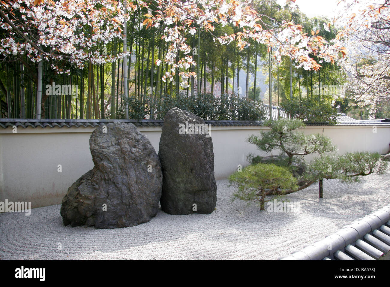 Japanese Zen rock garden with spring cherry blossom and bamboo in
