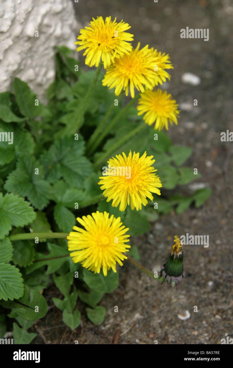 Dandelion, Taraxacum officinale,  Asteraceae - Stock Image
