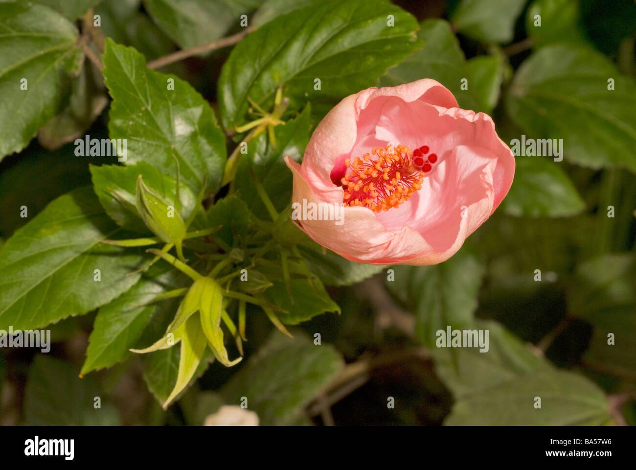 Seychelles Hibiscus blossom Hibiscus rosa sinensis, Malvaceae - Stock Image