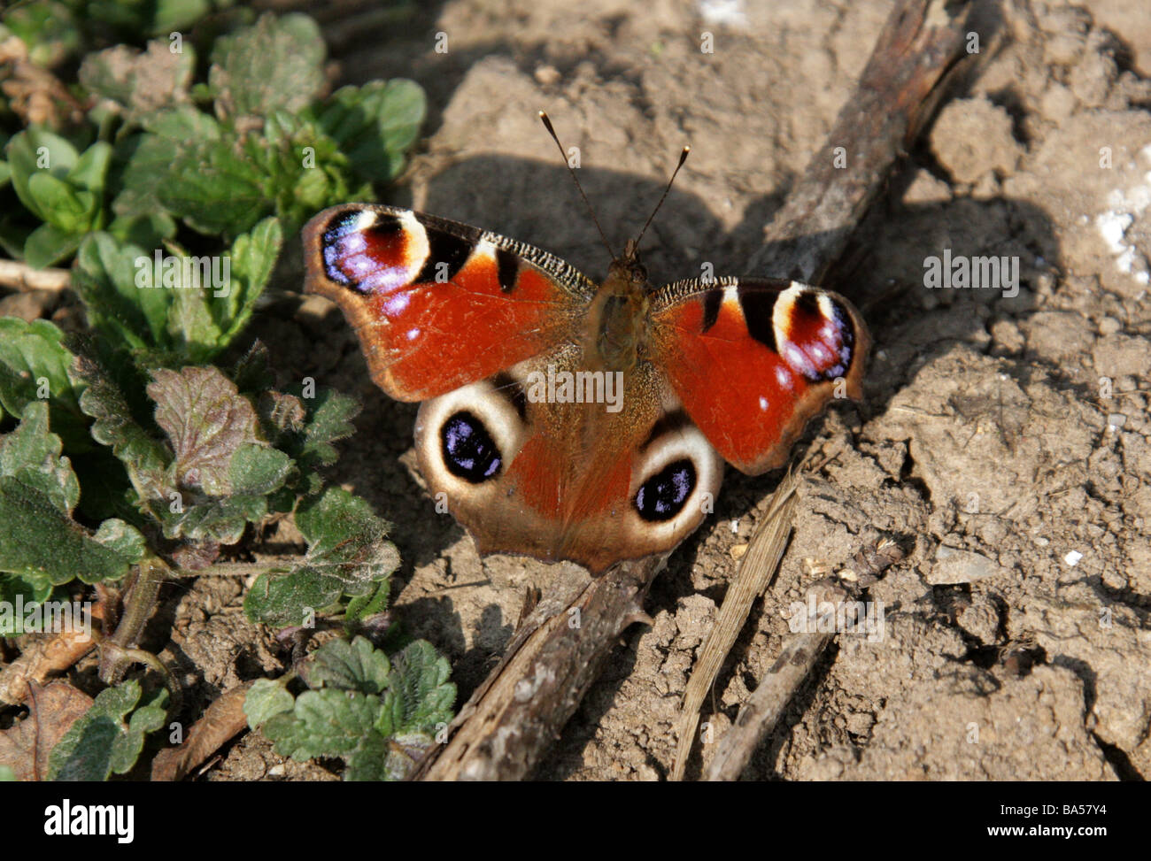 Peacock Butterfly, Inachis io, Nymphalidae - Stock Image