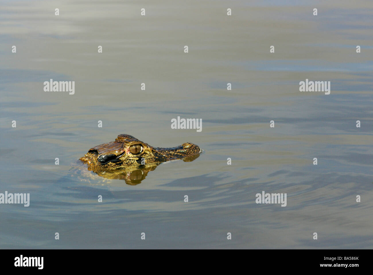 A young Black Caiman (Melanosuchus niger) floating in the Amazon flooded forest waters in the Mamirauá Reserve, - Stock Image