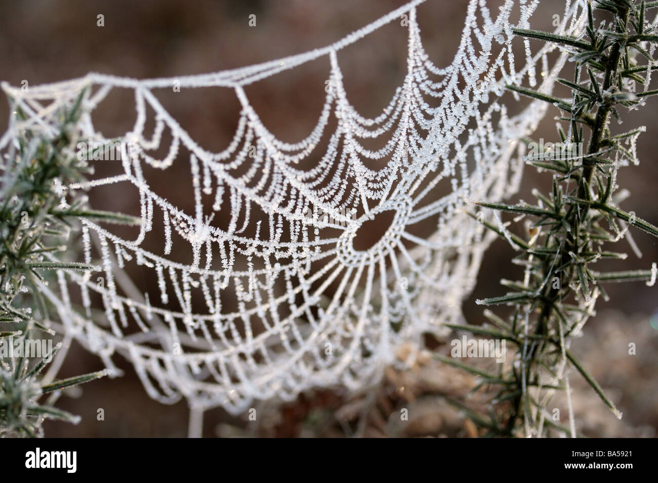 Frosty Spiders Web - Stock Image