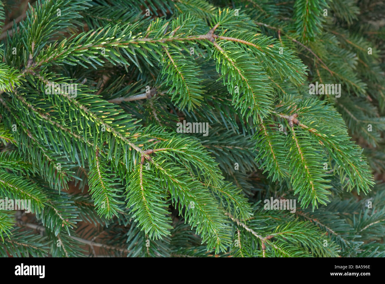 Pine Tree Abies costeriana, Abetaceae - Stock Image