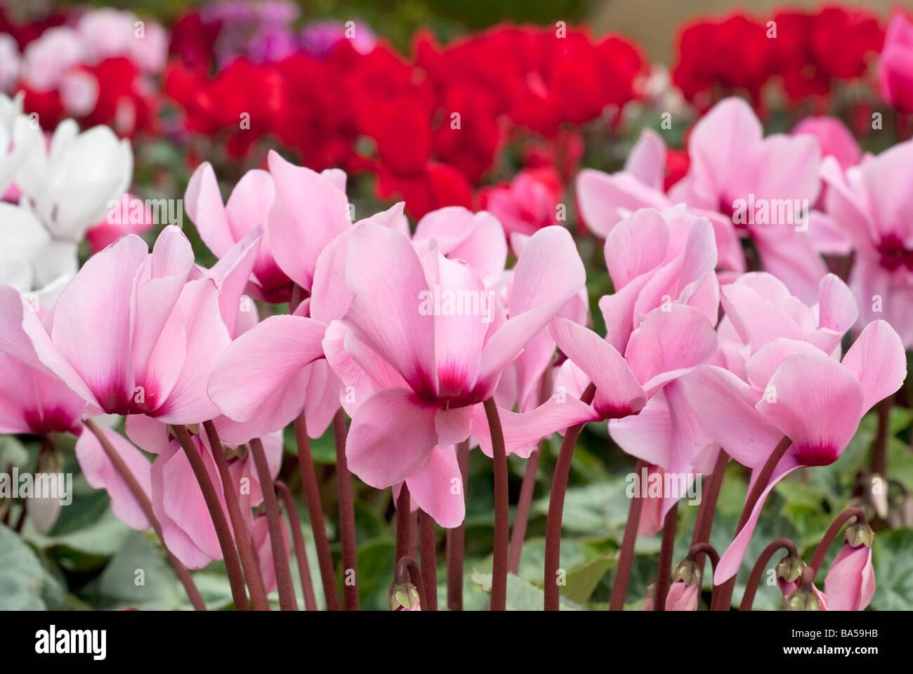 Cyclamen Cyclamen persicum, ciclamino, Primulaceae - Stock Image