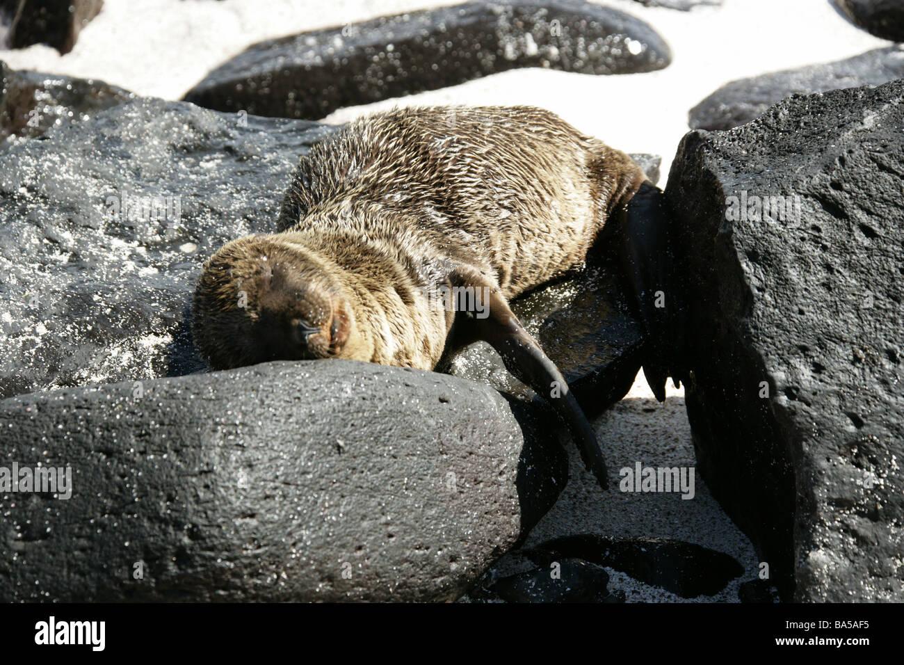 Sleeping Galapagos Sea Lion, Zalophus wollebaeki, Espanola Island, Galapagos Archipelago, Ecuador Stock Photo
