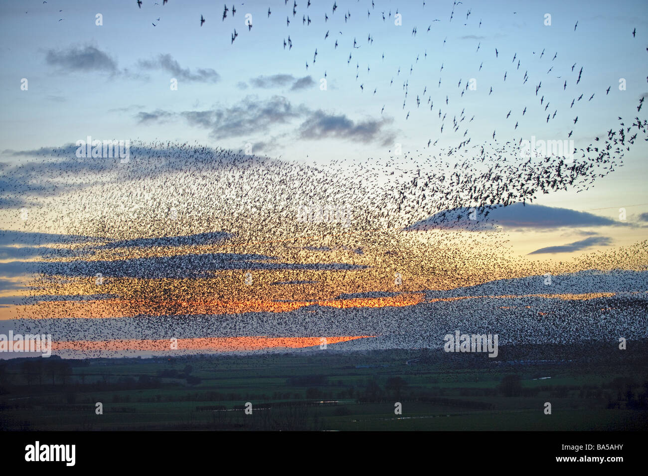 Flock of starlings Sturnus vulgaris flying to winter roost at dusk near Gretna Green Scotland February 2009 - Stock Image