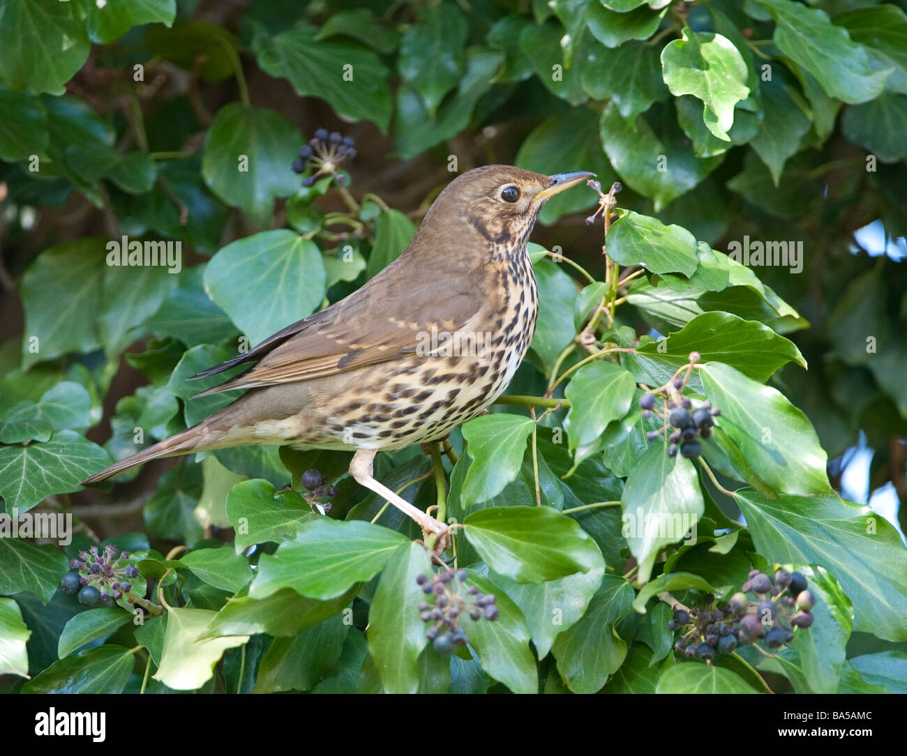 Song thrush Turdus philomelos on ivy Hedera helix Bedfordshire April - Stock Image