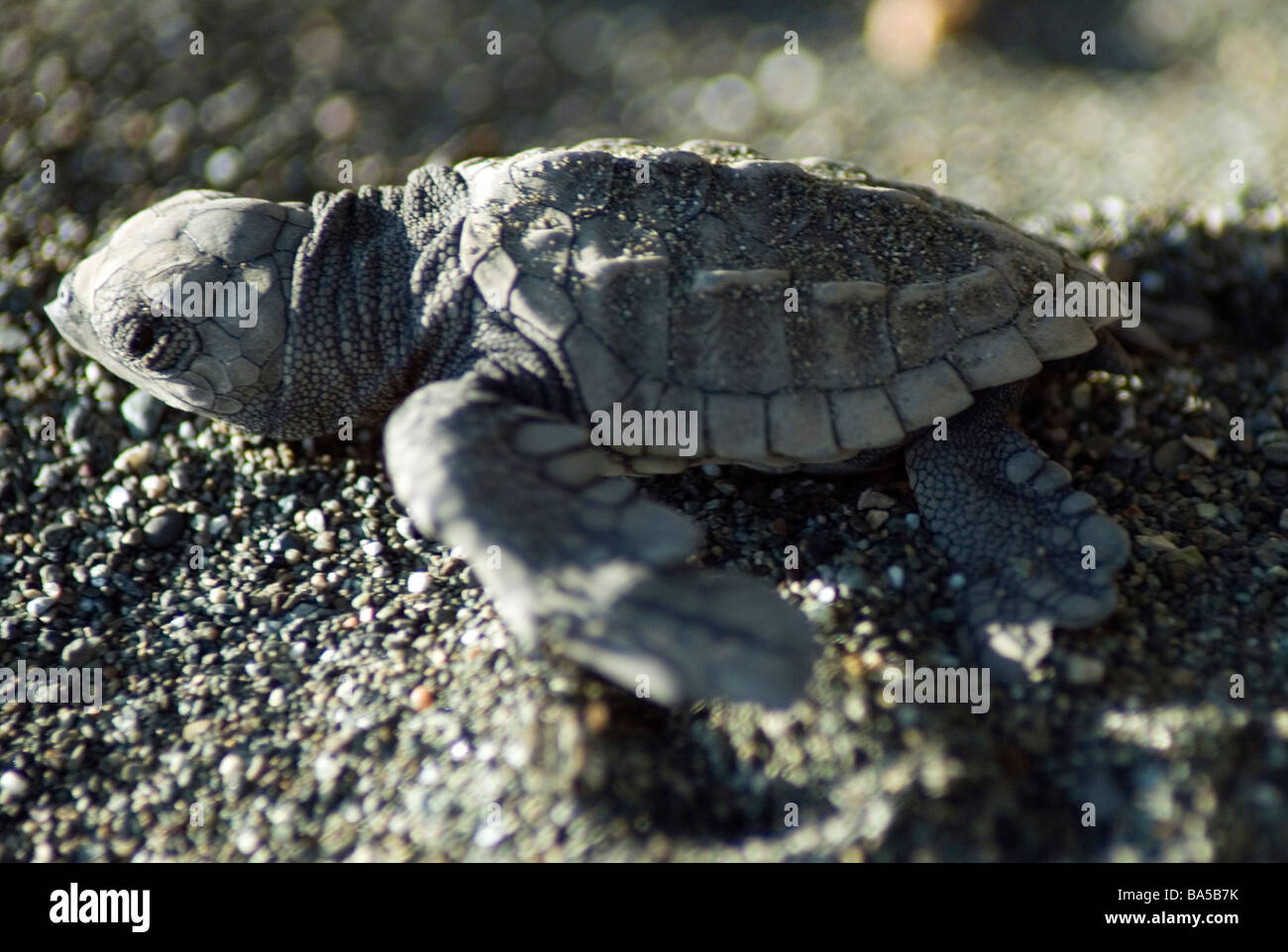 A green turtle hatchling flips frantically towards the ocean in Corcovado National Park - Stock Image