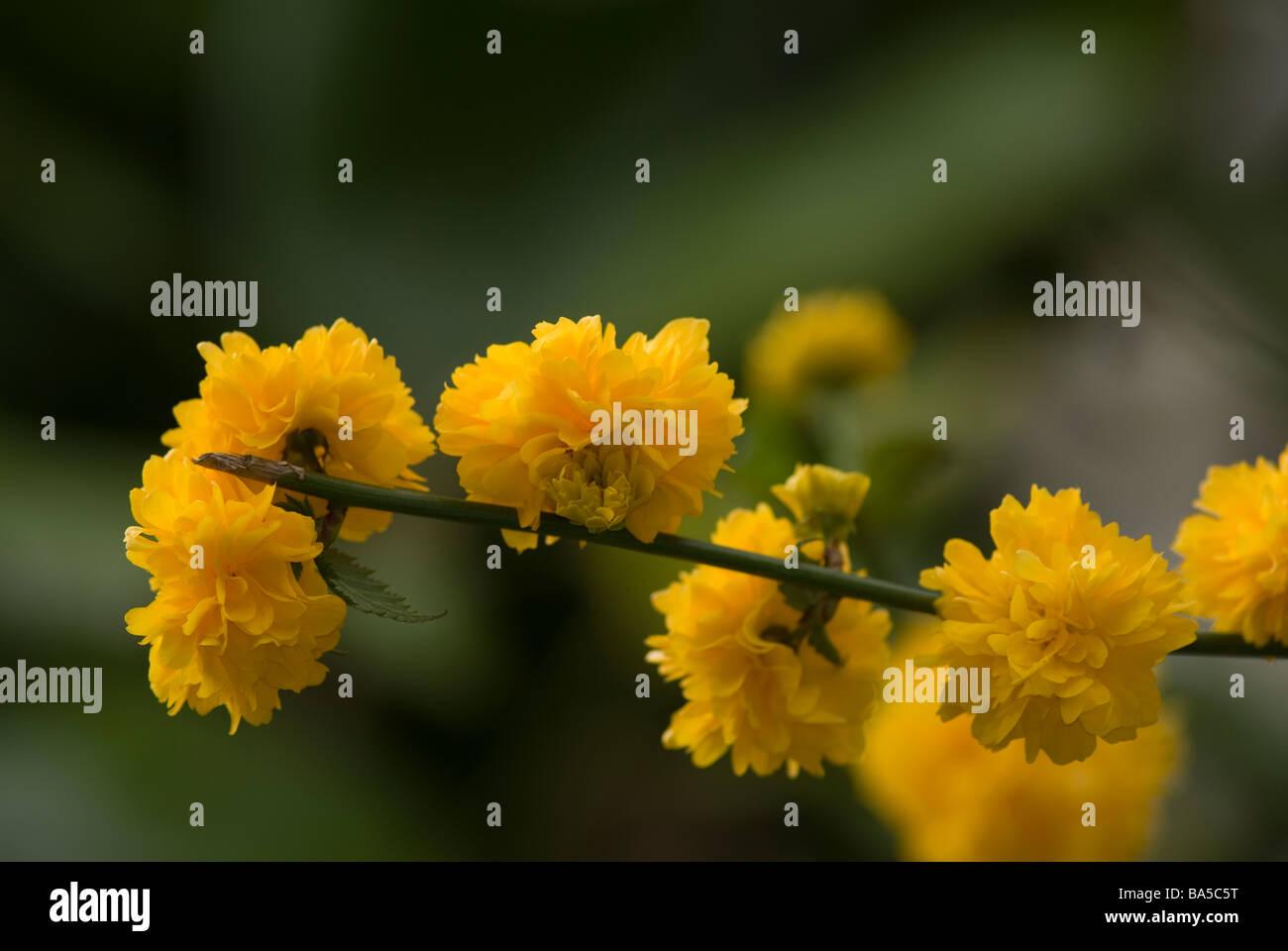 Japanese kerria Kerria japonica, Rosaceae - Stock Image